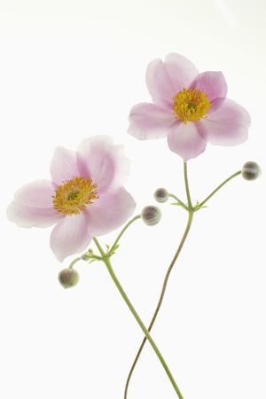frank-krahmer-japanese-anemone