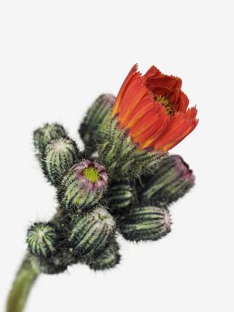 frank-krahmer-orange-hawkweed
