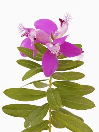 frank-krahmer-purple-milkwort