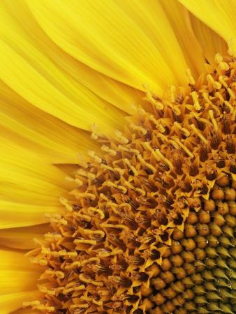 frank-krahmer-sunflower
