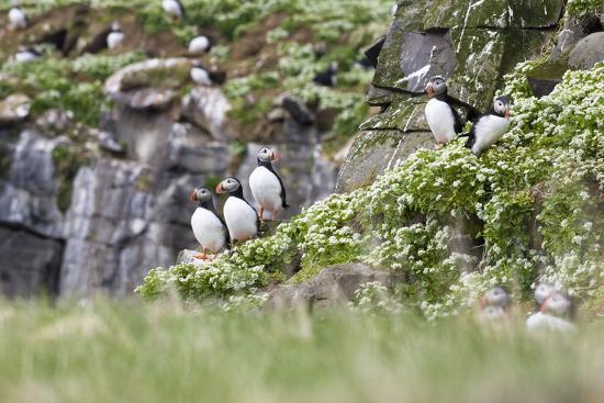 frank-lukasseck-iceland-grimsey-rock-atlantic-puffin-fratercula-arctica