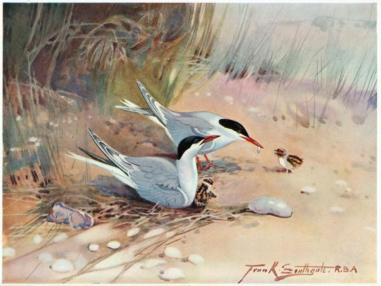 frank-southgate-common-tern-illustration-from-wildfowl-and-waders