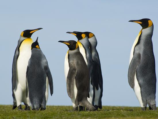 frans-lanting-king-penguins-courting-aptenodytes-patagonicus-falkland-islands