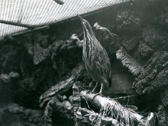frederick-william-bond-a-bittern-at-london-zoo-june-1922