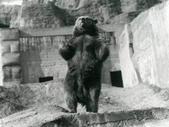 frederick-william-bond-a-brown-bear-stands-upright-on-its-hind-legs-mappin-terraces-london-zoo-august-1921