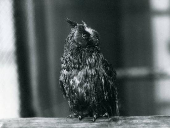 frederick-william-bond-a-long-eared-owl-at-london-zoo-january-1922