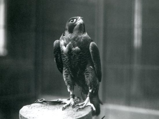 frederick-william-bond-a-peregrine-falcon-at-london-zoo-january-1922