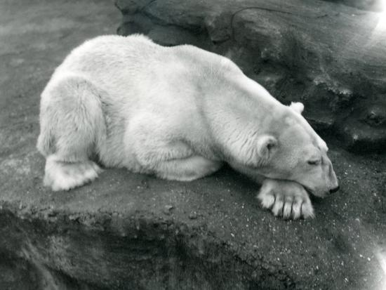 frederick-william-bond-a-polar-bear-resting-with-its-head-on-its-paw-at-london-zoo-october-1920