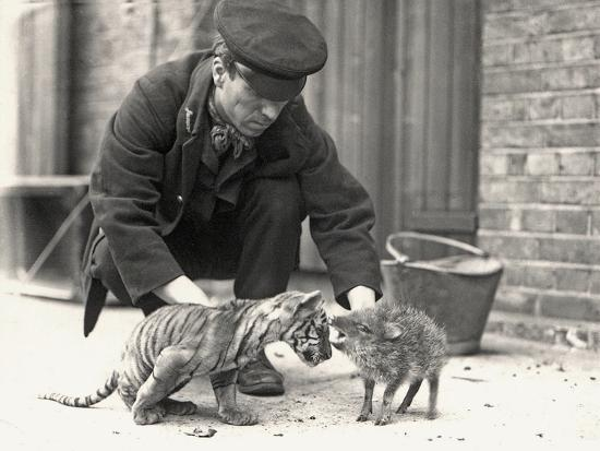 frederick-william-bond-keeper-h-warwick-with-a-tiger-cub-and-a-peccary-taken-at-zsl-london-zoo-may-1914