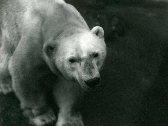 frederick-william-bond-polar-bear-sam-at-london-zoo-november-1920
