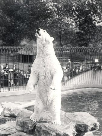 frederick-william-bond-sam-the-polar-bear-begging-for-food-at-zsl-london-zoo-1912