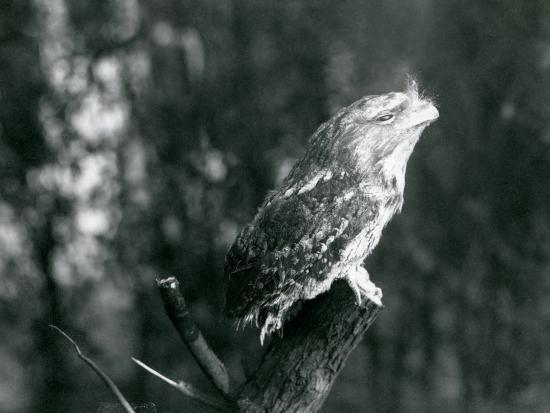 frederick-william-bond-the-cryptic-plumage-and-resting-pose-of-a-tawny-frogmouth-camouflages-it-on-a-branch-at-london-zoo