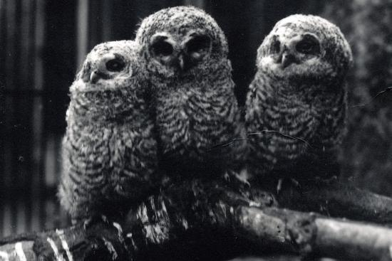 frederick-william-bond-three-young-tawny-owls-sit-on-a-branch