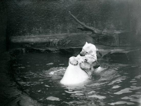 frederick-william-bond-two-polar-bears-including-a-juvenile-hugging-and-playing-in-a-pool-at-london-zoo-june-1922