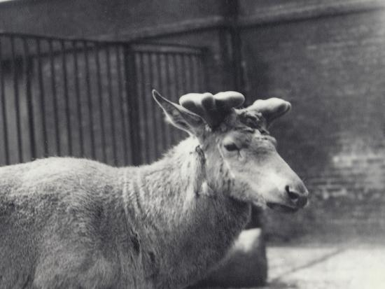 frederick-william-bond-wallich-s-deer-showing-early-stage-of-antler-growth-in-velvet-london-zoo-may-1920