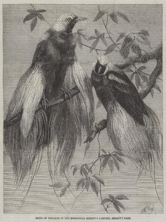 friedrich-wilhelm-keyl-birds-of-paradise-in-the-zoological-society-s-gardens-regent-s-park