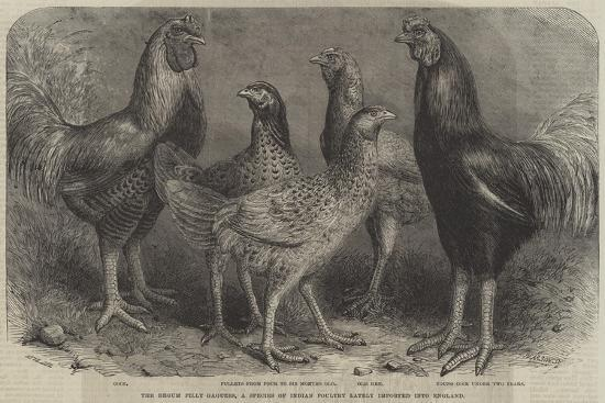 friedrich-wilhelm-keyl-the-begum-pilly-gaguzes-a-species-of-indian-poultry-lately-imported-into-england
