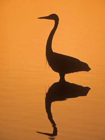 fritz-polking-great-egret-ardea-alba-silhouetted-in-water-at-twilight-southern-usa