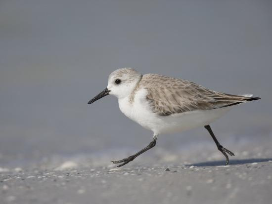 fritz-polking-sanderling-calidris-alba-de-soto-park-beach-florida-usa
