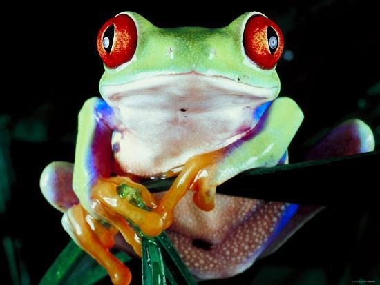 frog-with-red-eyes-perched-on-tree-stick