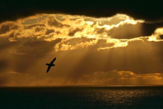 fulmar-in-flight-in-front-of-spectacular-lighting