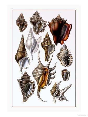g-b-sowerby-shells-trachelipoda