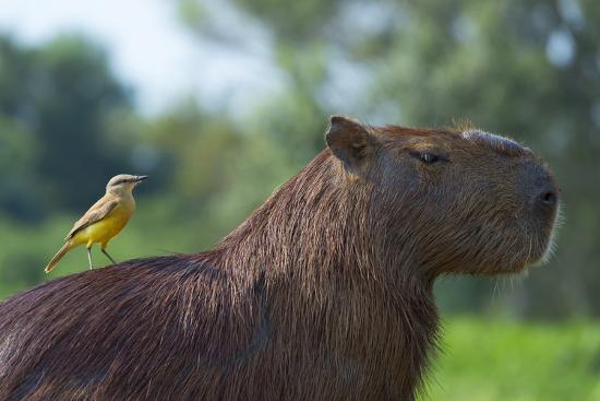 g-m-therin-weise-capybara-and-white-throated-kingbird-on-back-mato-grosso-brazil