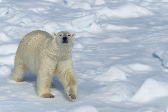 g-m-therin-weise-male-polar-bear-ursus-maritimus-walking-over-pack-ice-spitsbergen-island-svalbard-archipelago