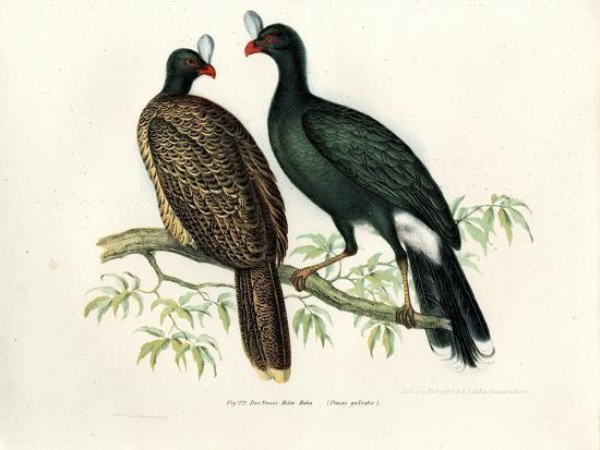 galeated-curassow-1864