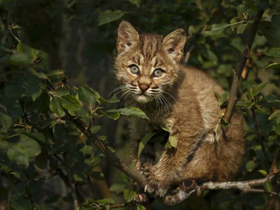 galloimages-online-bobcat-kitten-on-branch