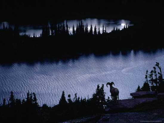 gareth-mccormack-bighorn-sheep-ovis-canadensis-near-hidden-lake-glacier-national-park-montana-usa