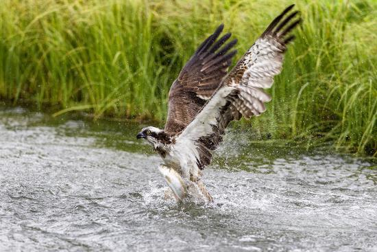 garry-ridsdale-osprey-pandion-haliaetus-exiting-a-small-pond-with-its-huge-wings-extended