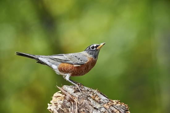 gary-carter-american-robin