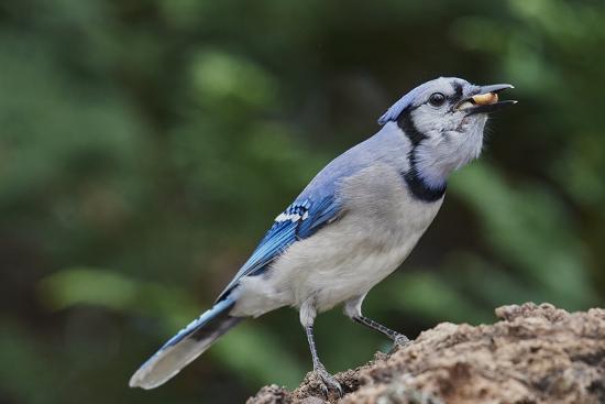 gary-carter-blue-jay