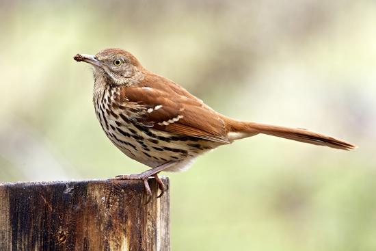 gary-carter-brown-thrasher-standing-on-tree-stump-mcleansville-north-carolina-usa