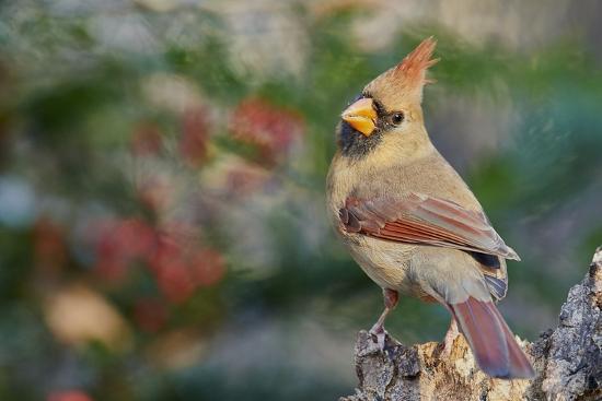 gary-carter-northern-cardinal