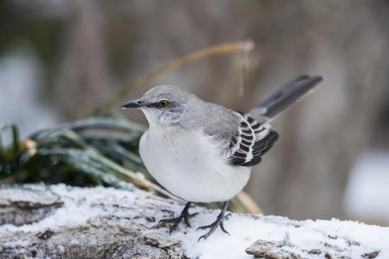 gary-carter-northern-mockingbird