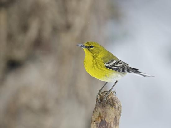 gary-carter-pine-warbler