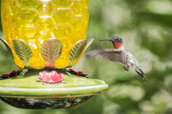 gary-carter-ruby-throated-hummingbird