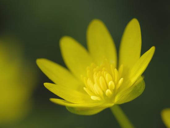 gary-cook-lesser-celandine-or-buttercup-flower-ranunculus-ficaria-scotland