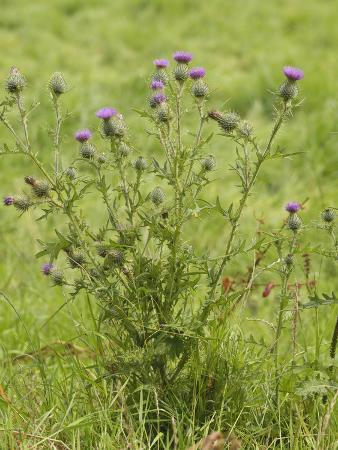 gary-cook-spear-or-bull-thistle-plant-with-numerous-flowers-cirsium-vulgare-scotland-uk
