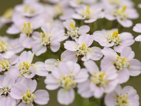 gary-cook-yarrow-flowers-achillea-millefolium