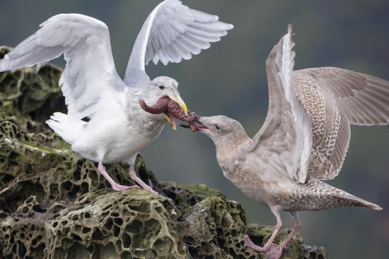 gary-luhm-glaucous-winged-gull-adult-and-juvenile-spar-over-an-ochre-sea-star-in-chuckanut-bay-puget-sound