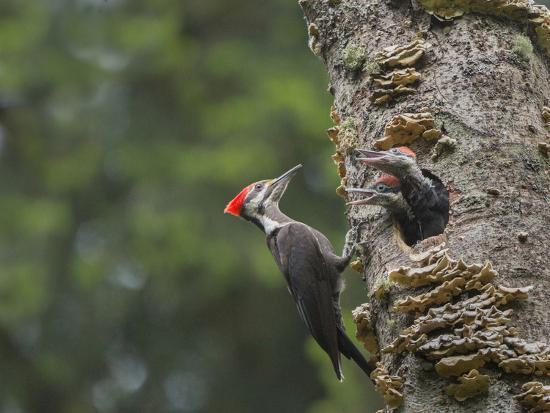 gary-luhm-washington-female-pileated-woodpecker-at-nest-in-snag-with-begging-chicks