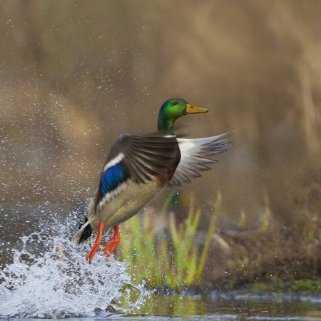gary-luhm-washington-male-mallard-duck-takes-flight-off-lake-washington-on-union-bay-seattle