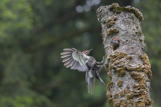 gary-luhm-washington-male-pileated-woodpecker-flies-to-nest-in-alder-snag-with-begging-chick
