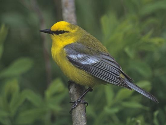 gary-meszaros-blue-winged-warbler-vermivora-pinus-eastern-usa