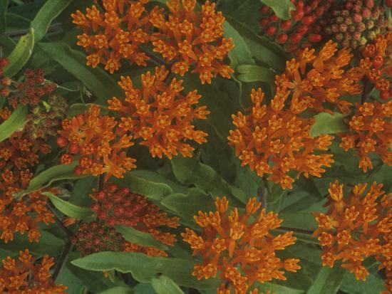 gary-meszaros-butterfly-weed-flowers-asclepias-tuberosa-north-america