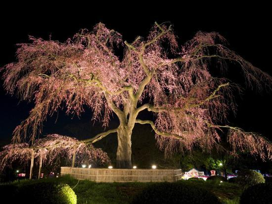 gavin-hellier-famous-giant-weeping-cherry-tree-in-blossom-and-illuminated-at-night-maruyama-park-kyoto-honshu