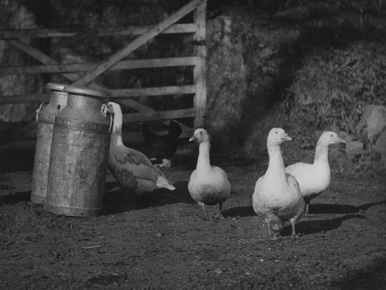 geese-and-milk-churns
